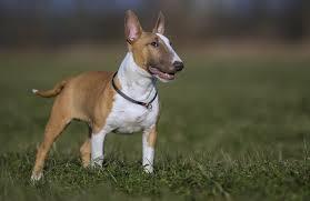 miniature bull terrier. Fine Miniature Miniature Bull Terrier Dog To