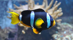 black and yellow clown fish.  Black Green Clown Fish For Black And Yellow