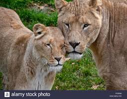 lioness and lion cuddle. Modren And Lionu0027s Showing Affection  Stock Image On Lioness And Lion Cuddle N