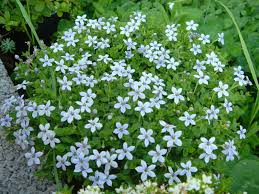 view full sizewikimedia commonsblue star creeper is aptly named with little blue starry flowers ling all over