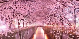Bunga Sakura 6 Wisata Terbaik Menikmati Keindahan Bunga Sakura Femalesia