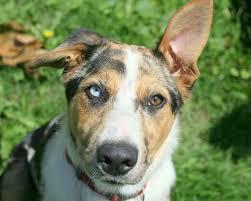 heterochromia in dogs two diffe