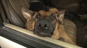 military german shepherd titanium teeth.  German A Look Inside A Dogs Mouth Canine Teeth  War Inspecting Canine  YouTube And Military German Shepherd Titanium