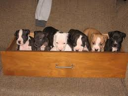 Image result for Pitbull Puppies istock
