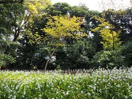 perfectly contained wilderness japanese irises in the imperial palace east garden in tokyo