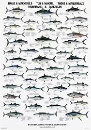 Tuna Fish Size Chart Tuna Mackerel Poster