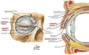 Eyelid Anatomy Eyelid Anatomy At University Of Waterloo Studyblue