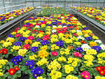 Images & Illustrations of bedding plant
