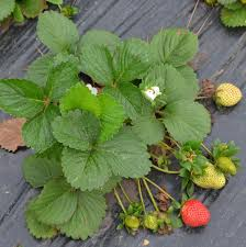 strawberries the edible groundcover
