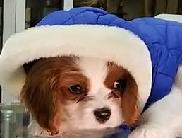 Pin by Priscilla Shelton on King Charles Cavalier- Mickey | Cavalier king  charles, King charles, Charles