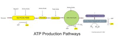 Atp Chart Medical Physiology Basic Biochemistry Sugars Wikibooks