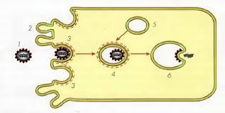 Проникновение вирусов в клетки Микробиология Реферат доклад  Проникновение вируса в клетку 1 вирусная частица 2 ворсинки на поверхности клетки 3 ямки на поверхности клетки 4 клеточная вакуоль