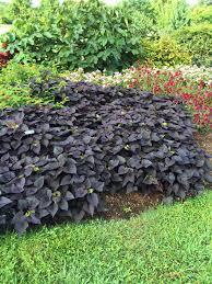 purple sweet potato plant. Wonderful Purple Download Image  Intended Purple Sweet Potato Plant S