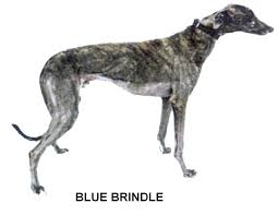 Brindle Color Chart Greyhound Color Chart