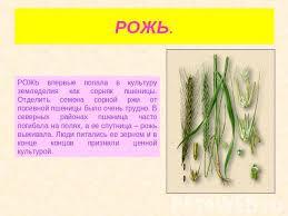Презентация на тему Культурные растения скачать бесплатно  РОЖЬ РОЖЬ впервые попала в культуру земледелия как сорняк пшеницы Отделить семена сорной ржи