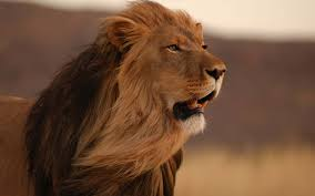 Big Lion Wallpaper