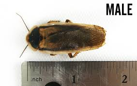 Roach Size Chart The Dubia Roach Life Cycle Joshs Frogs How To Guides