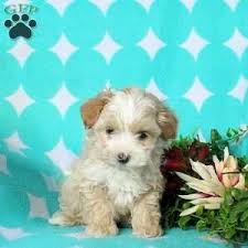 lucky 995 00 gap pa morkie poo puppy