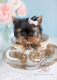 teacup puppy yorkie.  Puppy Micro Teacup Yorkie Puppy WwwTeaCupsPuppiescom With