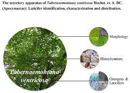 tabernaemontana ventricosa hochst