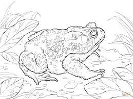 Small Picture American Toad coloring page Free Printable Coloring Pages