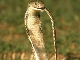 king cobra snake eating. Modren Snake The Genus Ophiophagus Means U0027snakeeatingu0027 With King Cobra Snake Eating I
