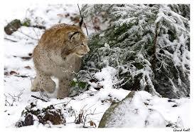 lynx size eurasian lynx v german shepherd