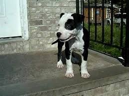 white and black pitbull puppies. Interesting Pitbull In White And Black Pitbull Puppies C