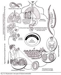 Ascariasis Roundworms Life Cycle Of Roundworm With Diagram