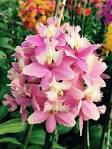 Image result for Crucifix Orchid