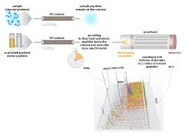 Scientific Download Are Identification Protein Proteins i To Cleaved Form Diagram Pipeline