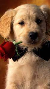 Valentine Dog With Red Rose HD Mobile ...
