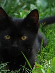 black cats with gold eyes. Interesting Gold Golden Eye 1 For Black Cats With Gold Eyes