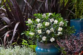 jubilation gardenia container