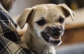 Image result for wild dog snarling