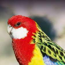 Golden-Mantled Rosella Personality, Food & Care – Pet Birds by Lafeber Co.