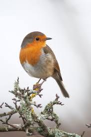 Robins Kitchen Garden City 17 Best Ideas About European Robin On Pinterest Robin Redbreast