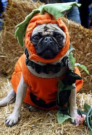 pug in pumpkin costume. Interesting Costume Pumpkin Pups Vs Hot Dogs Pet Costumes On The Rise This Halloween Pug In Costume