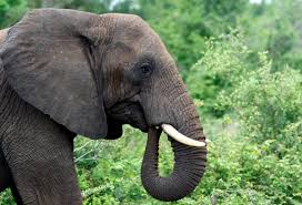 World Elephant Day Top Quotes To Reminisce The Day