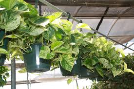 house plants. Pothos House Plants