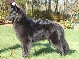 7 large size black coat belgian sheepdog 6