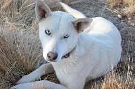 white husky wolf mix. Beautiful Wolf Inside White Husky Wolf Mix F