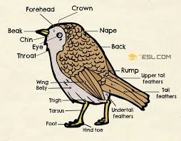 Birds Chart With Names In English Different Parts Of A Bird In English Bird Anatomy 7 E S L
