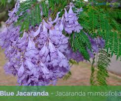 Blue Jacaranda Facts And Health Benefits