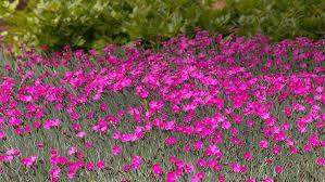 perennial dianthus flowers in the garden