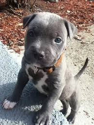 cute pitbull puppies wallpaper. Simple Cute Free Blue Pitbull Puppies  Images Of Blue Nose Pit Tumblr Wallpaper In Cute Wallpaper L