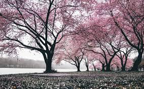 Japan Sakura Wallpaper Hd Latest Wallpapers Hd