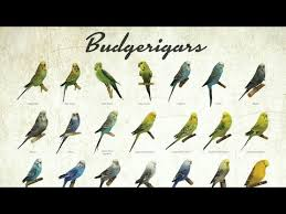 Videos Matching Budgie Parakeet Colors Varieties Mutations