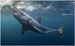 shark attack wallpaper.  Shark The Great White Shark Attack Wallpaper  Great White Shark Attack Wallpaper Intended