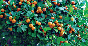 Growing Tropical Fruit In The Midwest  Michigan GardeningWhat Fruit Trees Grow In Michigan